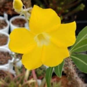 マカイエンセの花