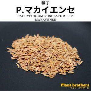 パキポディウム・マカイエンセ 魔界玉(Pachypodium rosulatum ssp. makayense)